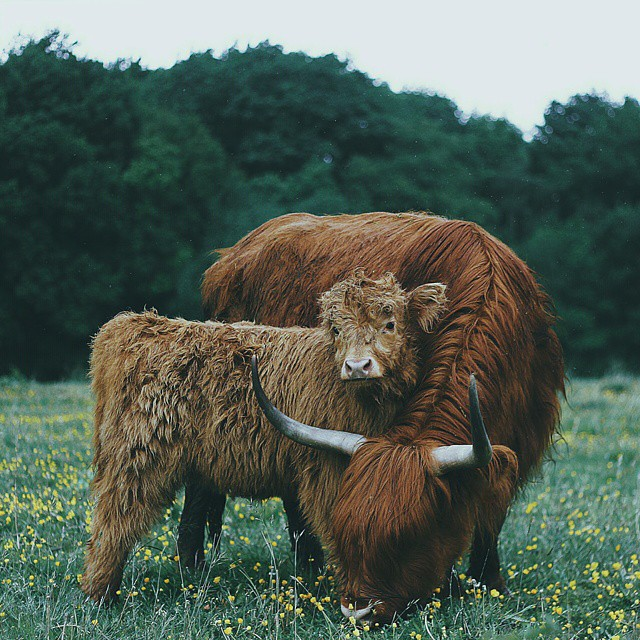 amazing, animal lovers, cow and cows