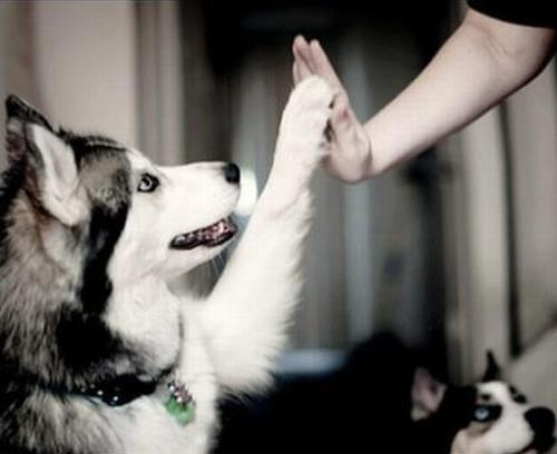 dog, husky, friendship, love