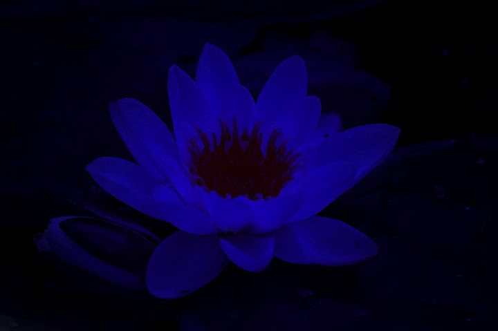 flower, blue, dark