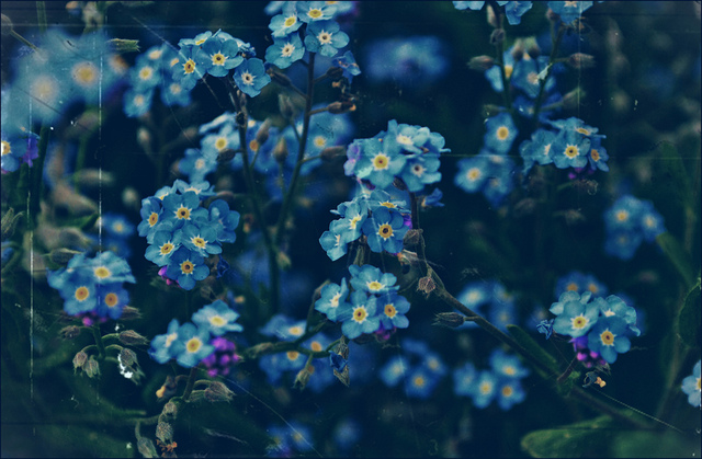 blue, flowers and forget-me-nots