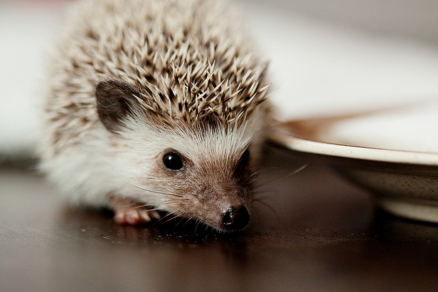 hedgehog, vintage, animal, cute, sweet