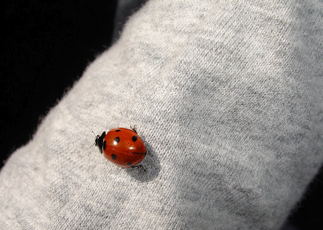 lady, bug, red, grey, nature