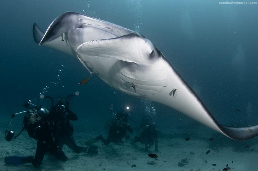 raja ampat island, mantaray, divers, indonesia