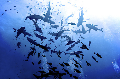 shark, sharks, sea, ocean, beautiful