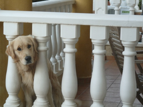 adorable, baby, balcony, cute, dog, fox, golden retriever, house, neighbour, spain