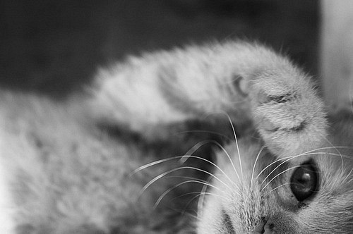 adorable, black and white, cat, cute, kitten, kitty