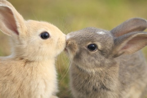 adorable, bunnies, bunnies kissing, cute, kissing