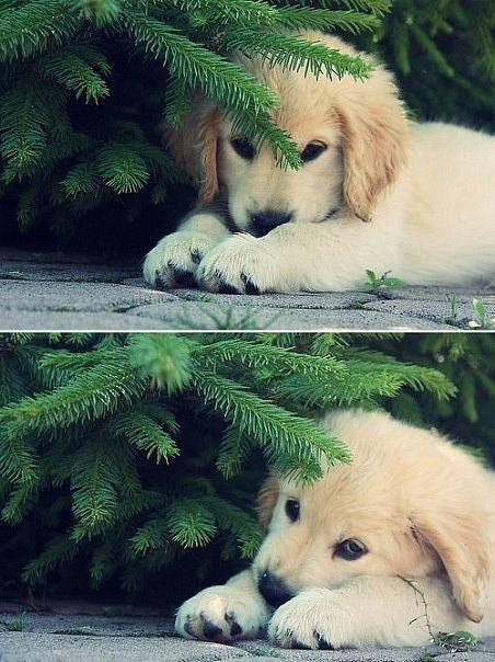 adoroble, cute, dog, dogs, elvina, golden retriver, puppy