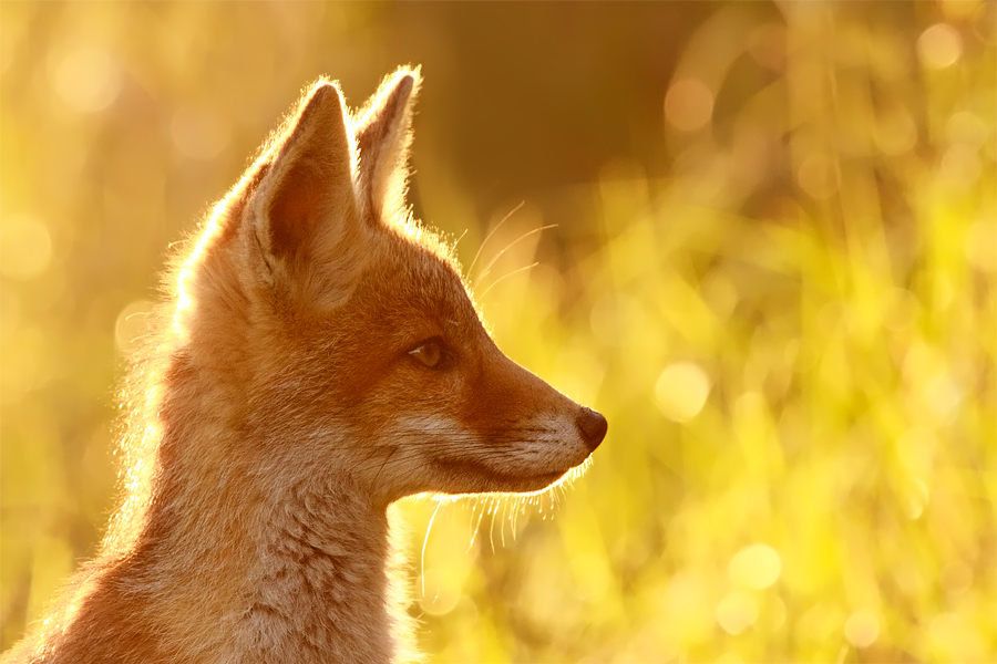animal, autumn, bright, fox, orange