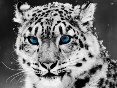 animal, beautiful, blue, blue eyes, eyes, leopard, wild