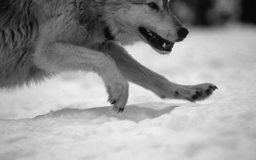 animal, black and white, snow, wolf
