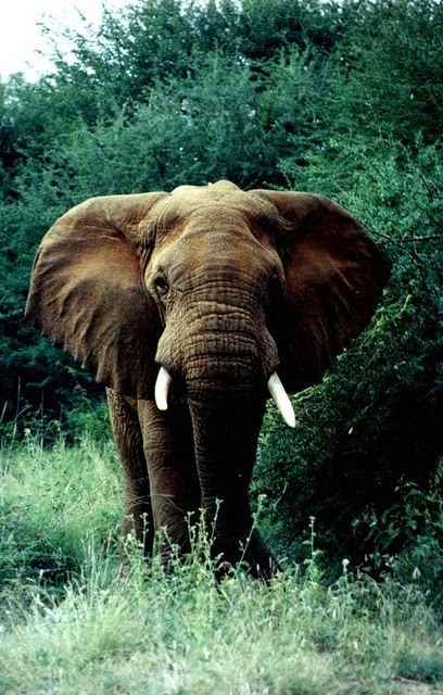 animal, elephant, nature
