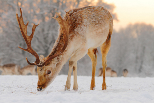 animals, antlers, deer, pretty, snow
