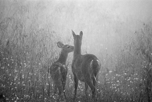 animals, black and white, cute, deer, vintage