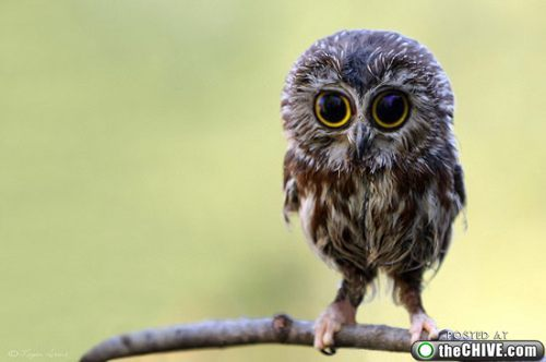 awesome, baby, owl, super cute, sweet