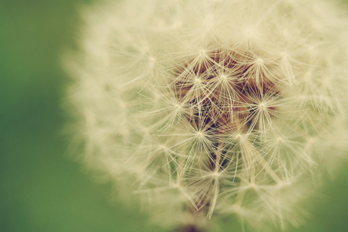beautiful, dandelion, flower