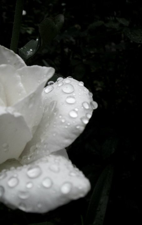 beautiful, photography, rain, rain drops, rose