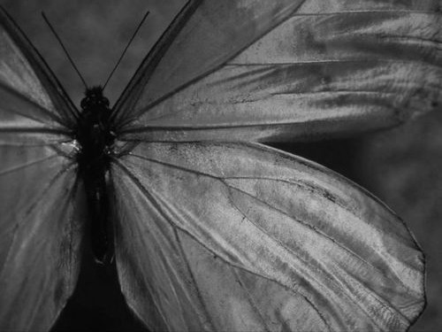 black and white, butterfly, close-up