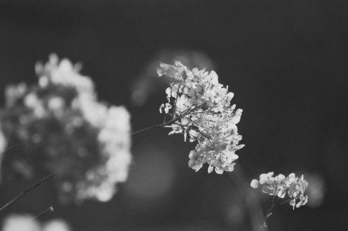 black and white, flowers, nature, photo