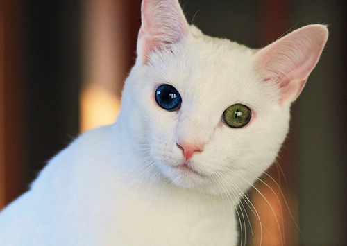 » Heterochromia Iridum: Two Different Colored Eyes (21 photos) White Kitten With Blue And Green Eyes