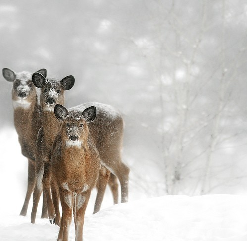 deer, nature, pretty, snow, winter
