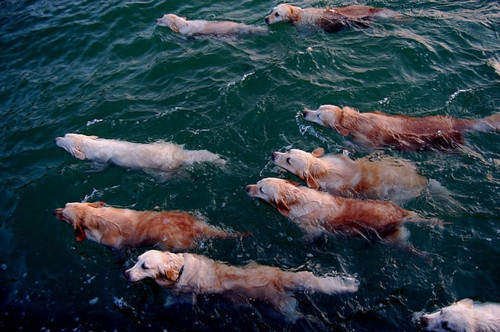 dog, dogs, swim, water