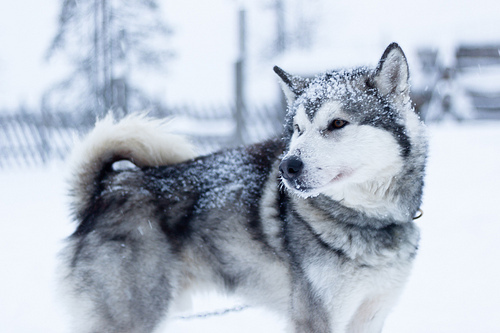 dog, eyes, husky, lovely, skeletonandbloody, snow, winter, wolf