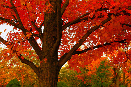 fall, orange, tree
