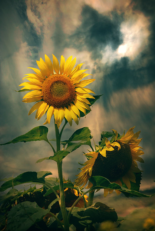 flower, nature, photography, sunflower