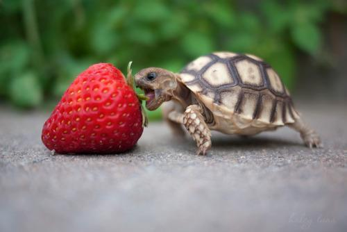 turtle, turtle; eating, turtle; strawberry