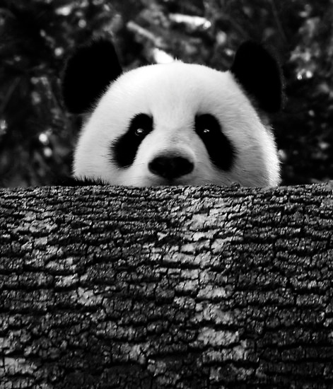 *-*, adorable, animal, black, boy, cuddly, cute, girl, hello, look, love, lovely, nature, nose, panda, sweet, tree, white, wild