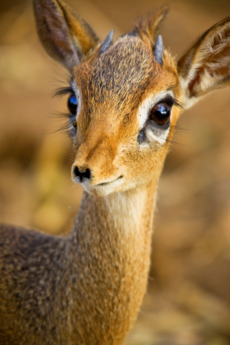 adorable, africa, animal, antelope, cute, dik dik, small