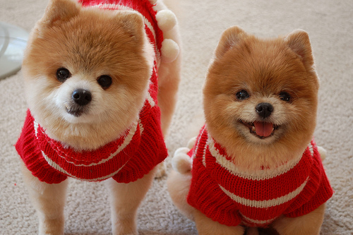 adorable, aww, cute, dogs, fluffy