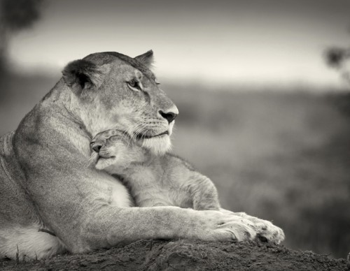 adorable, baby, cub, cute, lion, lioness