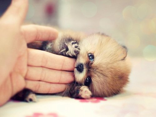 adorable, baby, cute, dog, pomeranian