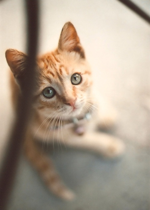 adorable, beautiful, big eyes, blue eyes, cat, cute, eyes, kitten, kitty, yellow