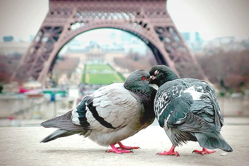 adorable, birds, cute, dove, eiffel tower