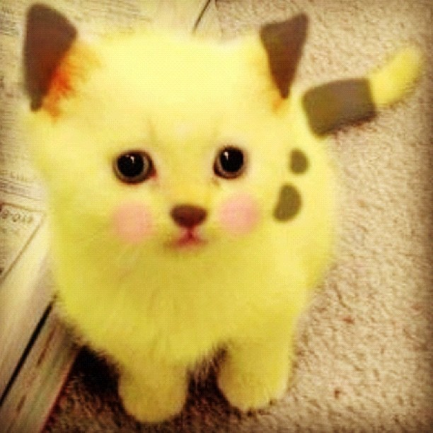 adorable, cat, cute, pikachu, yellow