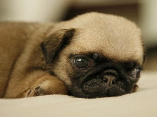 adorable, cute, pug