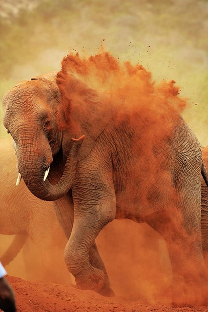 africa, animal, beauty, dust, elephant