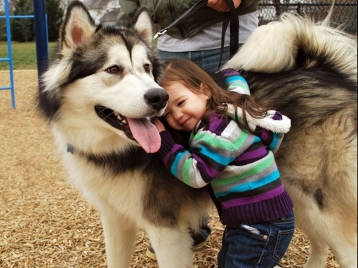 alaskan malamute, cachorro, cute, cute images, dog