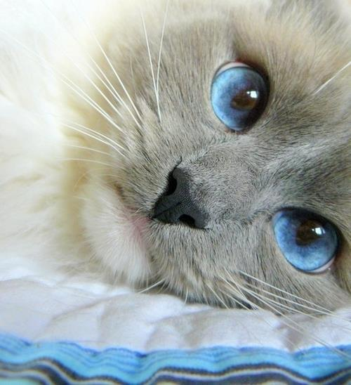 animal, animals, blue, cat, cats
