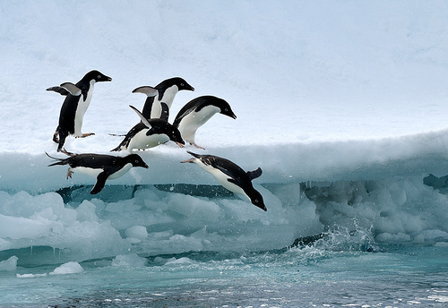 animal, animals, cold, cute, ice, ocean, ophidiophobic, penguin, penguins, polar, sea, snow, water