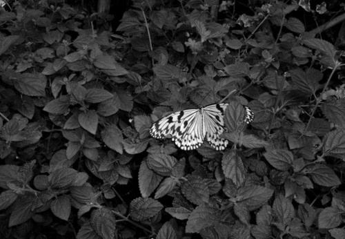 animal, b&w, beautiful, black & white, black and white, butterfly, cute, nature, photo, photography