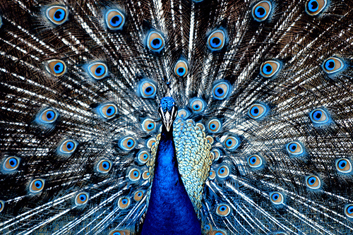 animal, beautiful, blue, feather, feathers