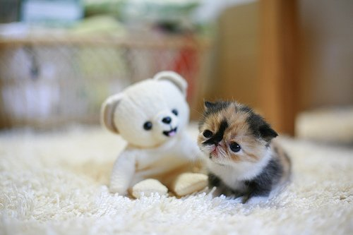 animal, cat, cats, cute, lovely, toy