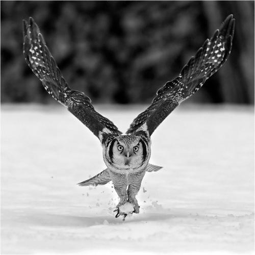 animal, cute, fly, funny, lol, owl, photography, snow