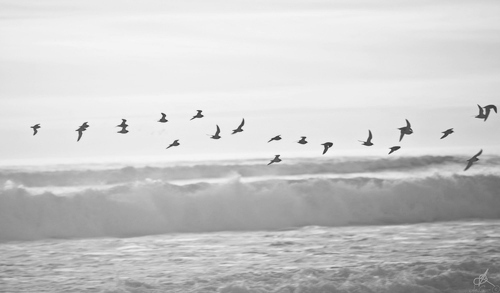 animals, beach, birds, black and white, freedom