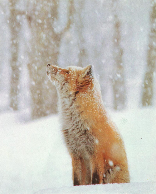 animals, cold, cute, fox, snow, winter