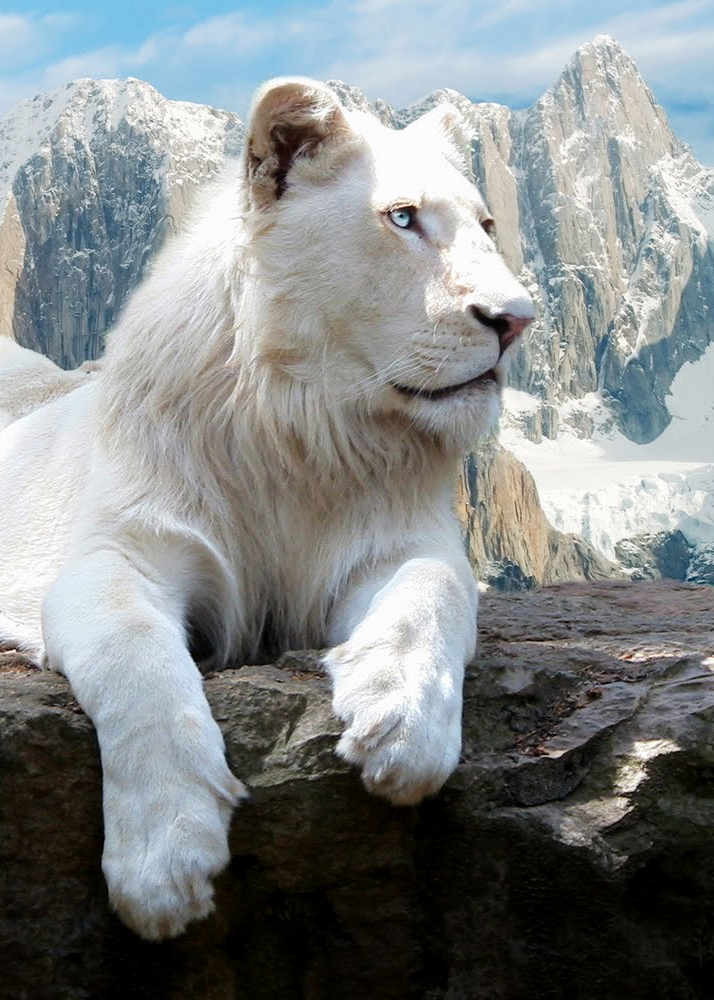 animals, cute, eyes, ohgabriellima, white lion